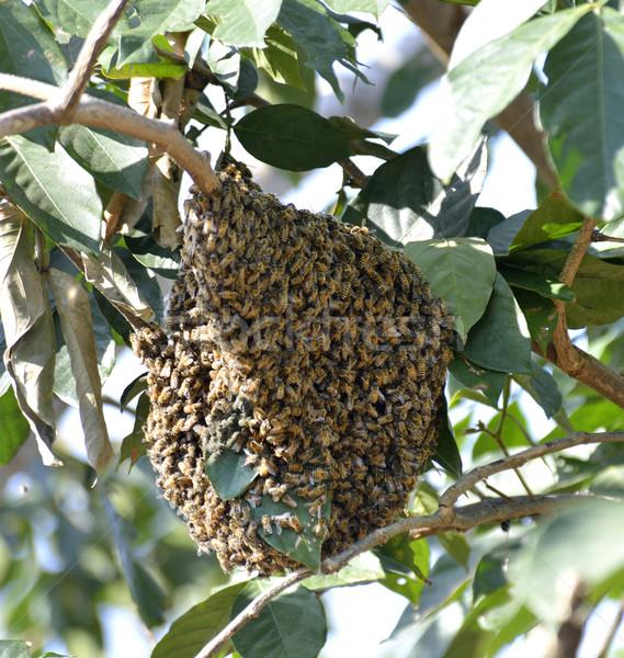 Mel de abelha abelha enforcamento ramo ninho naturalismo Foto stock © saddako2