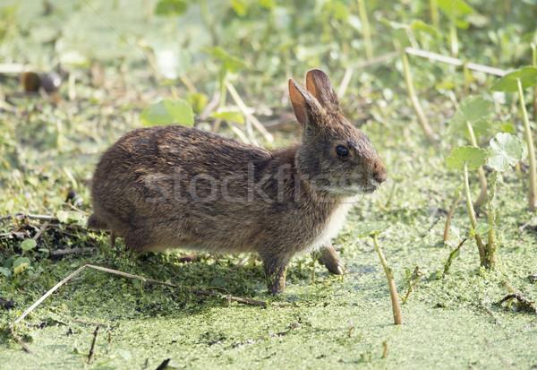 Marsh Rabbit  in Florida wetlands Stock photo © saddako2