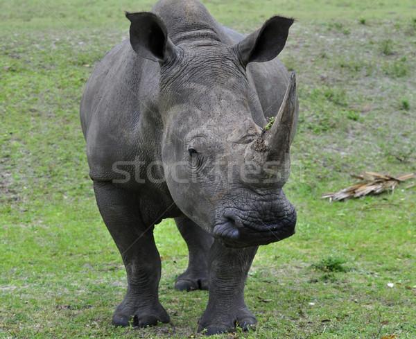 White Rhinoceros  Stock photo © saddako2
