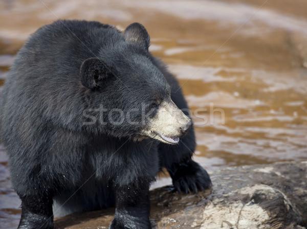 Black Bear near water Stock photo © saddako2