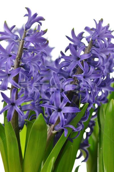 Jacinto flores azul branco flor primavera Foto stock © saddako2