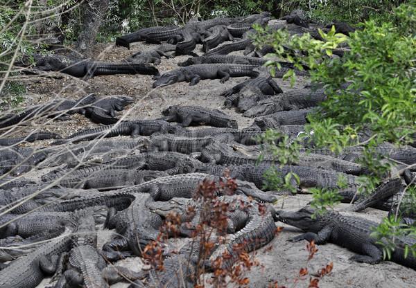 Аллигаторы песок природы зубов животного Сток-фото © saddako2