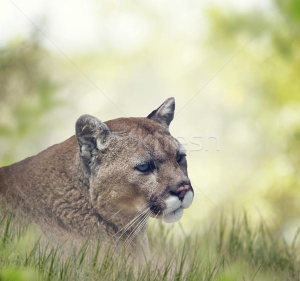 Florida panter puma portre çim Stok fotoğraf © saddako2
