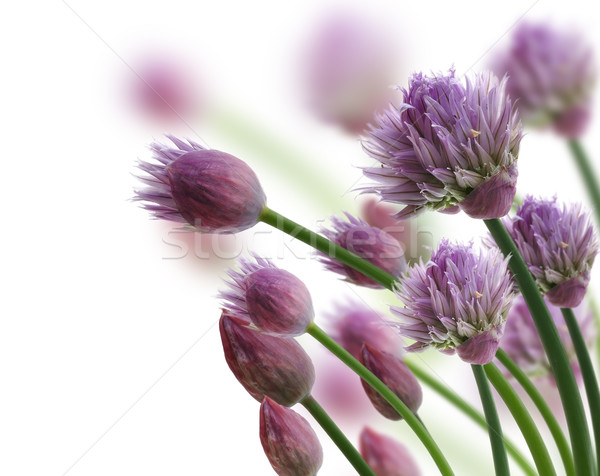 Chive Herb Flowers Stock photo © saddako2