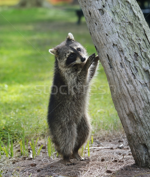 Jonge wasbeer boom gras natuur park Stockfoto © saddako2