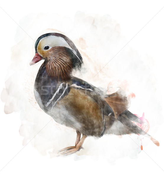 Watercolor Image Of A Mandarin Duck Stock photo © saddako2