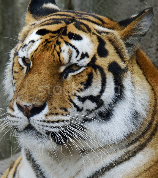 Amur Tiger Stock photo © saddako2