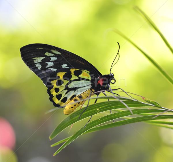 Stock fotó: Trópusi · pillangó · közelkép · lövés