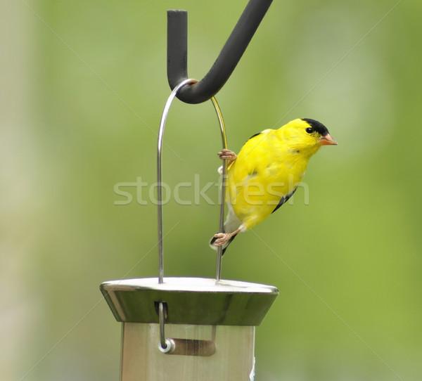 yellow bird Stock photo © saddako2