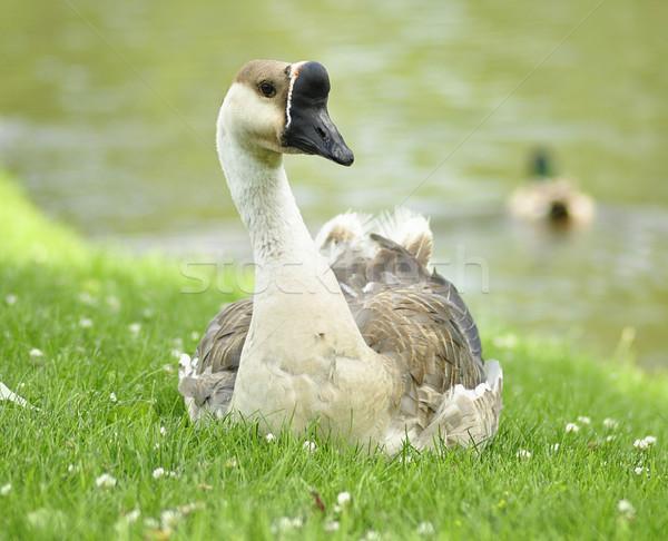 гусь парка трава озеро Сток-фото © saddako2
