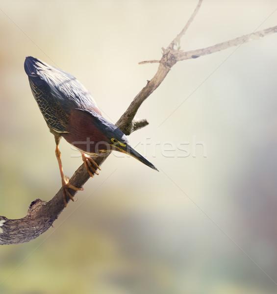 Yeşil balıkçıl doğa kuş balık tutma şube Stok fotoğraf © saddako2