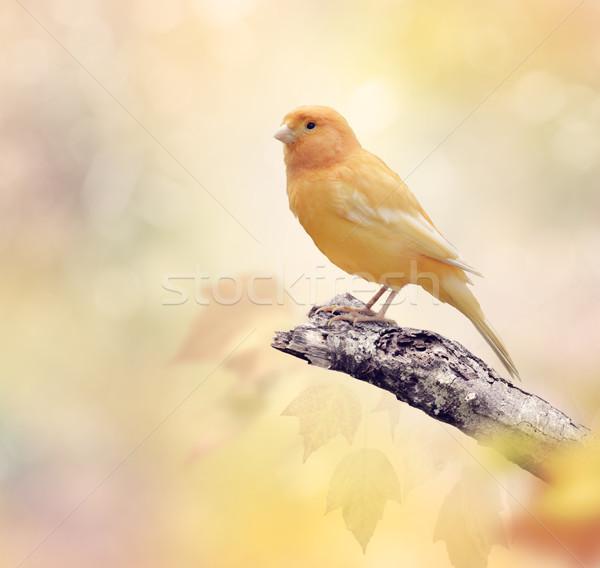 カナリア 支店 自然 鳥 壁紙 ストックフォト © saddako2