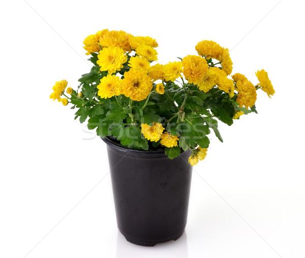 chrysanthemum flowers Stock photo © saddako2