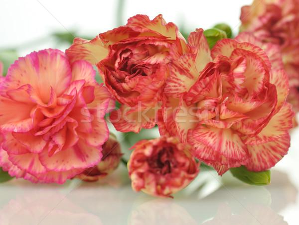 розовый красный гвоздика цветы выстрел Сток-фото © saddako2