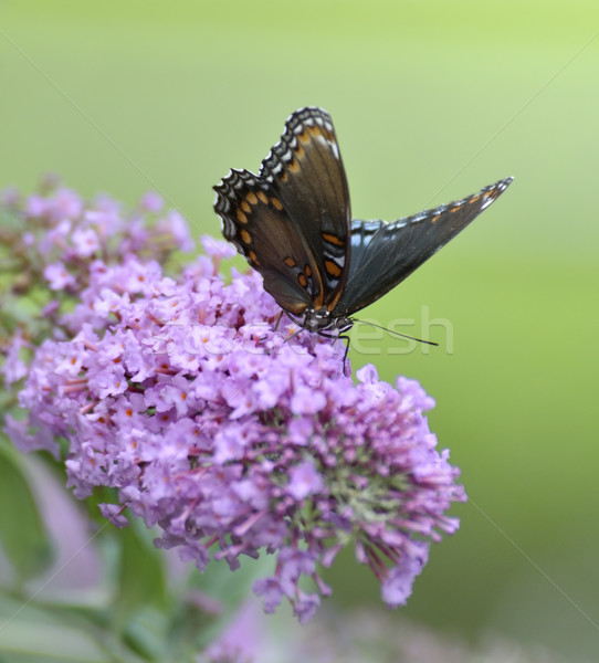 Red-Spotted Purple Admiral Butterfly Stock photo © saddako2