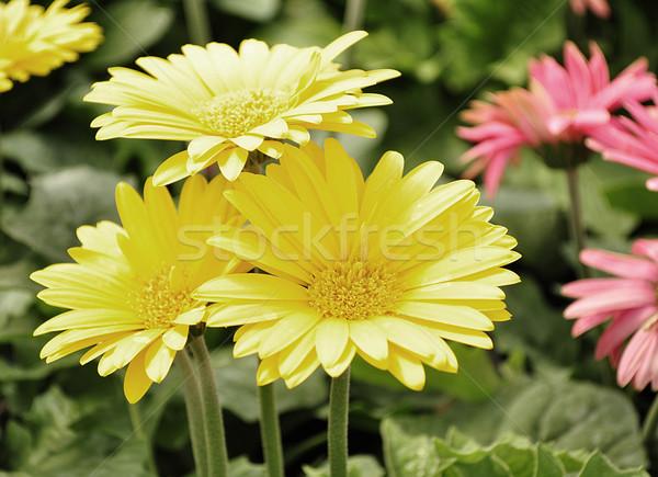 gerbera daisy Stock photo © saddako2