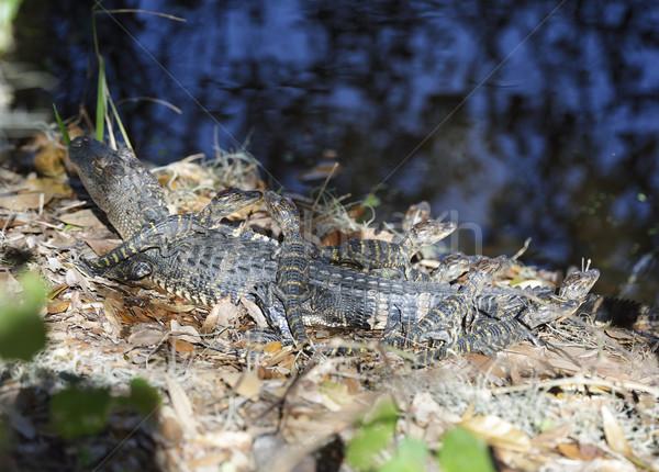 Stock fotó: Alligátorok · baba · Florida · víz · család · természet