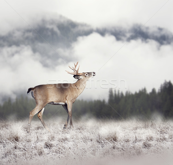 White-tailed deer  Stock photo © saddako2