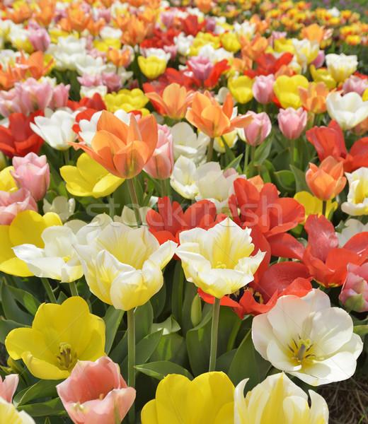 Coloré tulipes tulipe fleur printemps nature Photo stock © saddako2