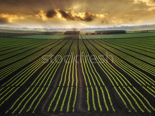 Planted Field Stock photo © saddako2