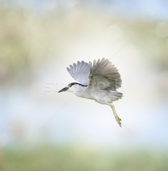 Noite garça-real vôo natureza pássaro Foto stock © saddako2