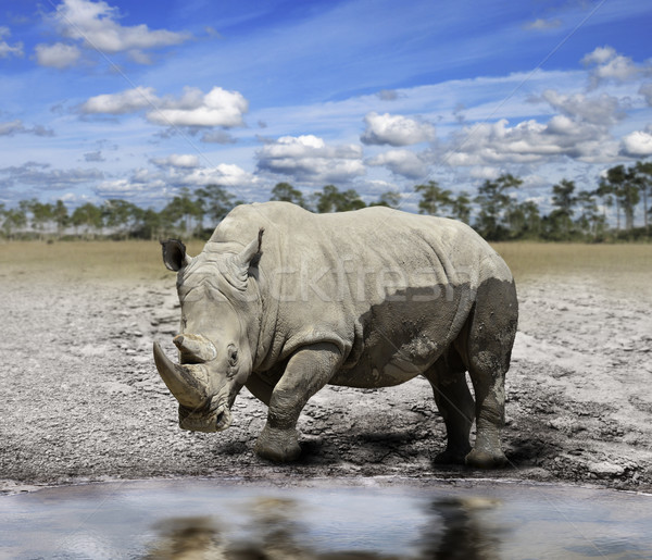 Rhino (rhinoceros)  Stock photo © saddako2