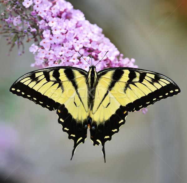 Foto d'archivio: Orientale · tigre · farfalla · viola · Bush · fiore