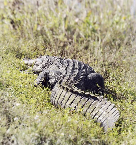 Florida Alligator Stock photo © saddako2