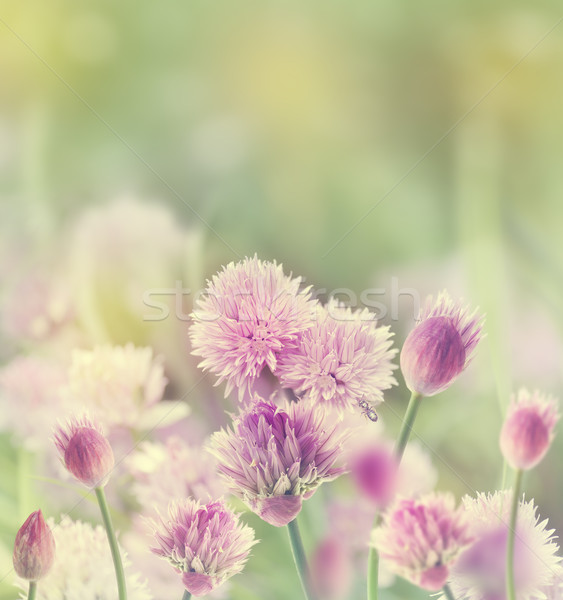Chives Blossom Stock photo © saddako2