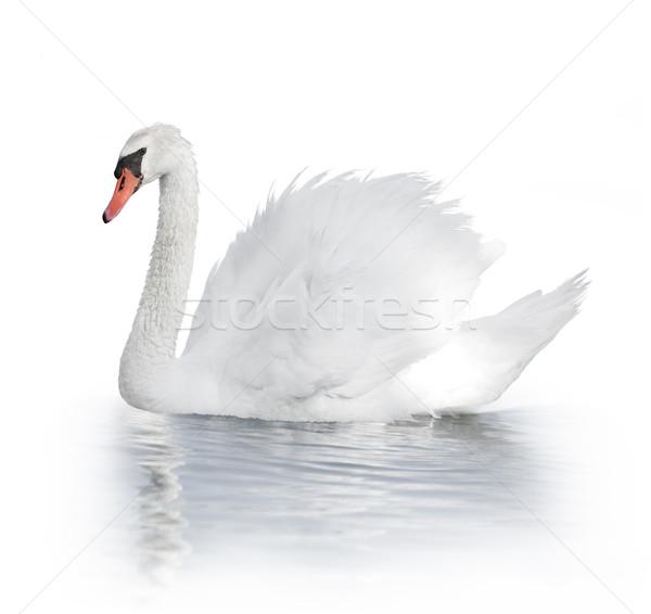 Fehér hattyú víz madár Stock fotó © saddako2