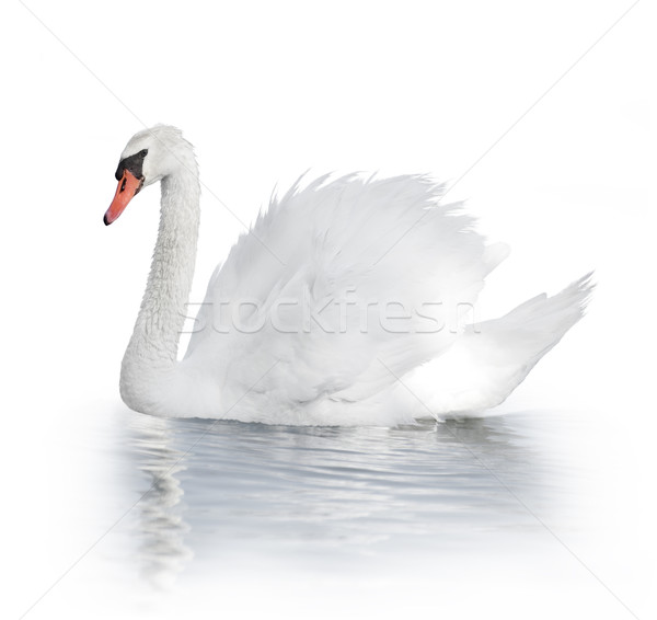 белый лебедя воды птица Сток-фото © saddako2