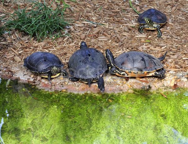 Turtles Stock photo © saddako2