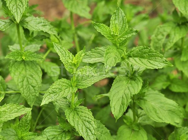 Borsmenta menta kert közelkép étel szín Stock fotó © saddako2