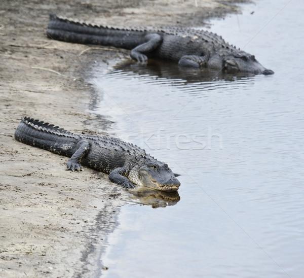 американский Аллигаторы воды природы реке зубов Сток-фото © saddako2