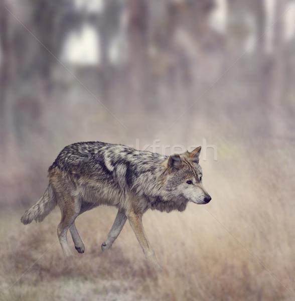 Grey Wolf (Canis lupus) Stock photo © saddako2