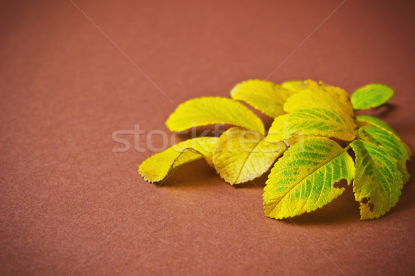 yellowing leaves of a tea rose  Stock photo © saharosa