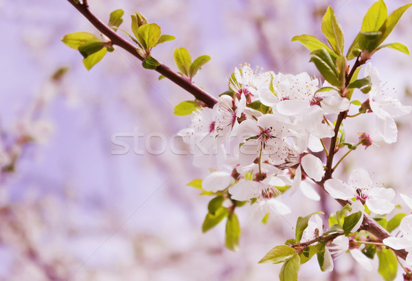 çiçekli kiraz ağaç güzel çiçekler Stok fotoğraf © saharosa