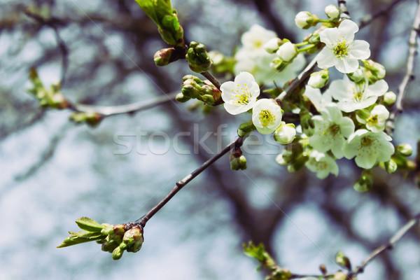 çiçekli elma ağacı güzel elma ağaçlar Stok fotoğraf © saharosa