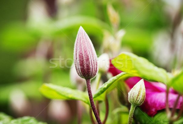 芽 綠葉 選擇性的重點 花 背景 夏天 商業照片 © saharosa