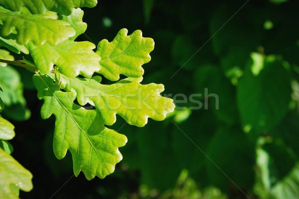 Eiken bladeren jonge groene zomer park Stockfoto © saharosa