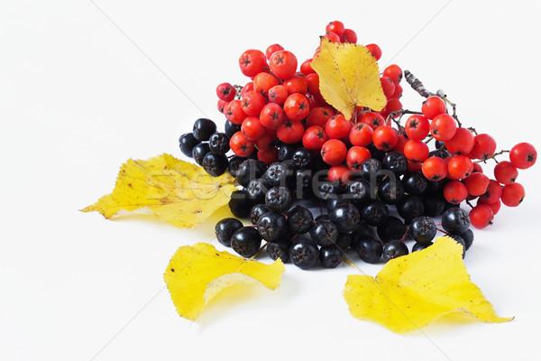 ripe rowan berries  Stock photo © saharosa