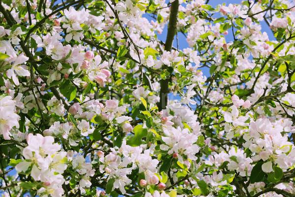 Bloei appelboom mooie appel bomen Stockfoto © saharosa