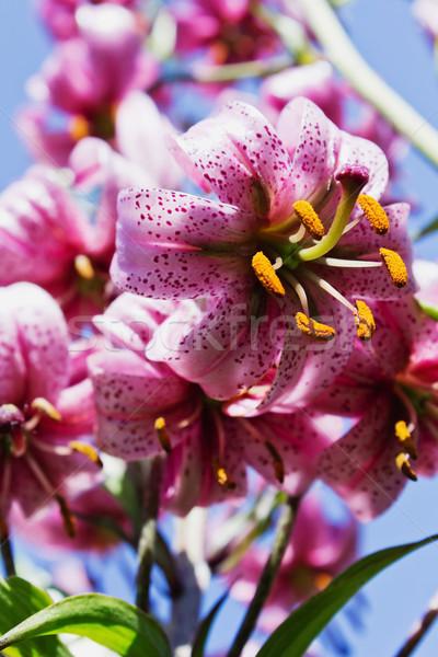 Mooie lelie bloemen tuin selectieve aandacht Stockfoto © saharosa