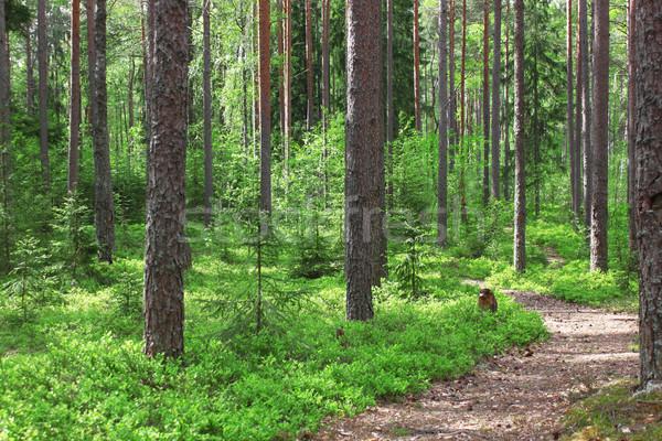 Forest landscape Stock photo © saicle