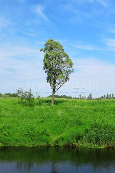 Single tree under blue sky Stock photo © saicle