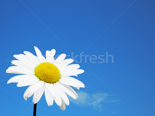 White flower and sky Stock photo © saicle