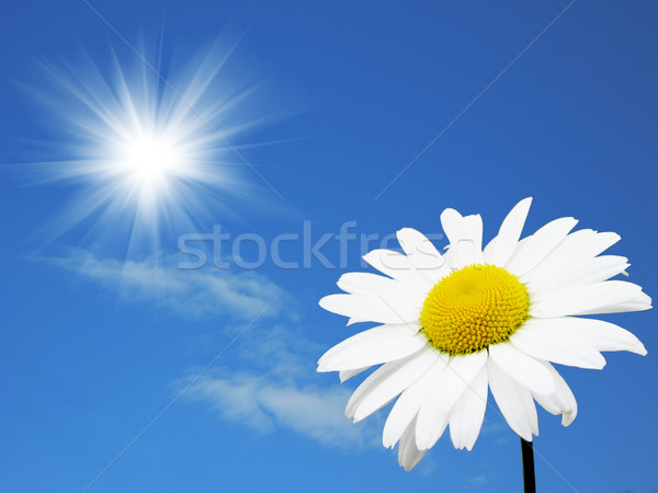Camomile in the solar sky Stock photo © saicle