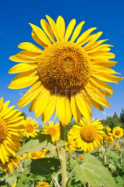 Girasole bella primo piano foto grande giallo Foto d'archivio © sailorr