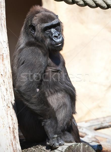 Gorila agradable foto negro África zoológico Foto stock © sailorr