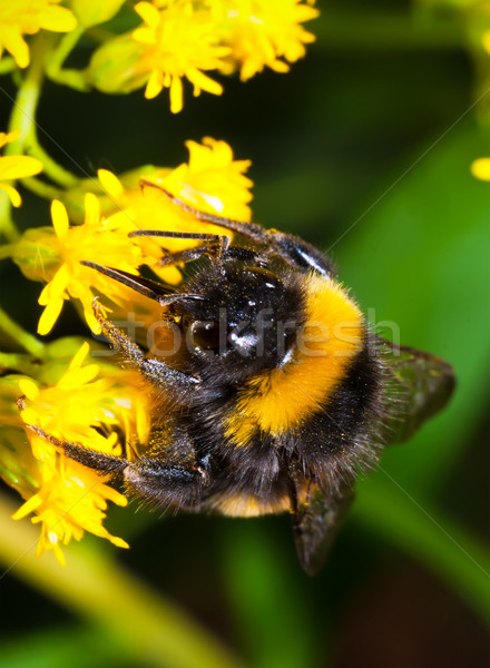 Bumblebee Stock photo © sailorr